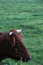 robuste Nutztierrassen
