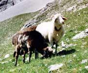 alpines steinschaf